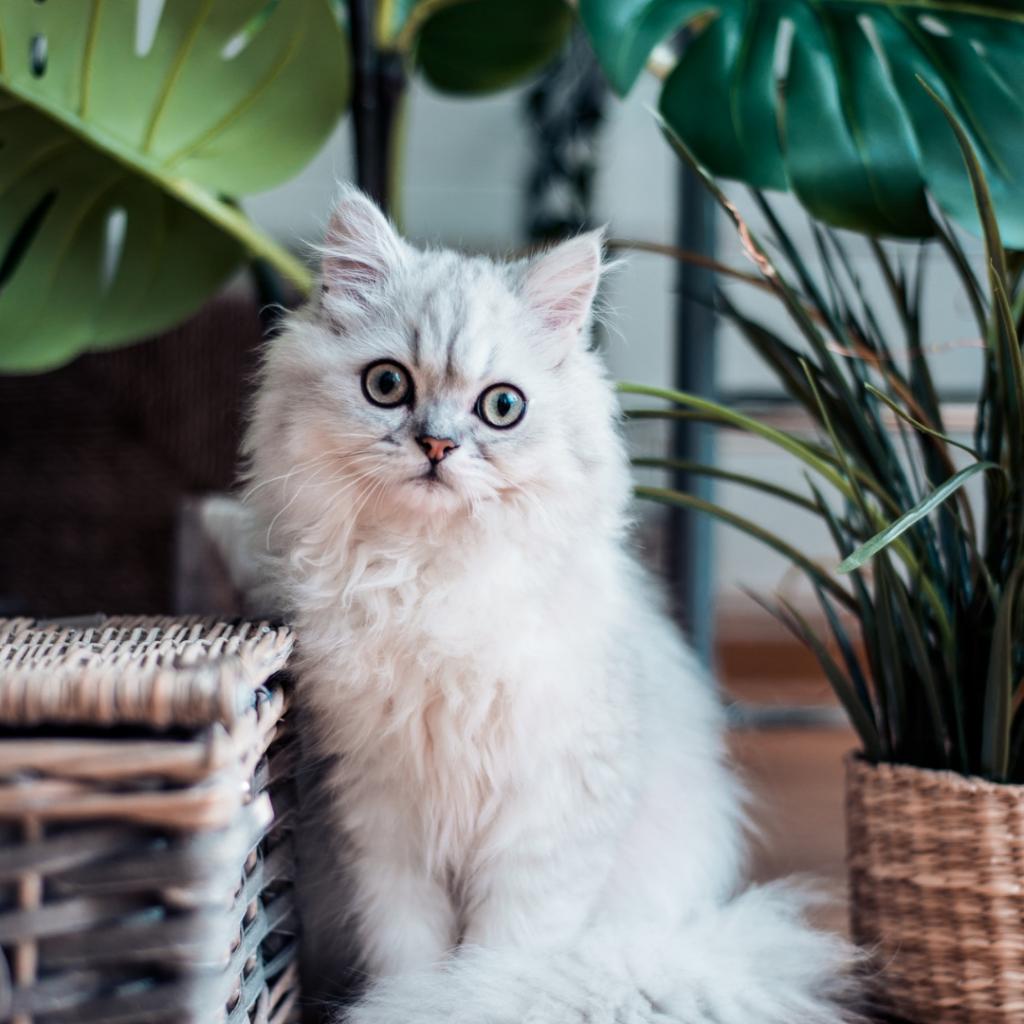 Dit zijn de populairste kattenrassen van 2020!